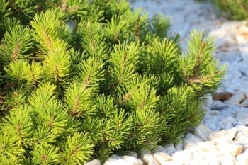 Plant of the Week: Dwarf Conifers
