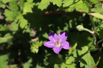 Plant of the Week: Geranium