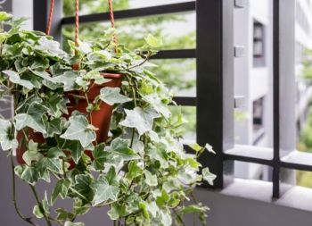 Plant of the Week: Ivy