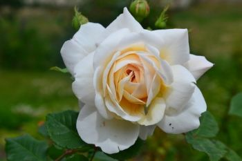 Plant of the Week: Rose