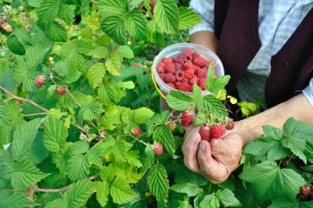 Prune summer raspberries