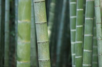 Grow Bamboo in the garden