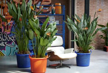 Houseplant of the month: Strelitzia