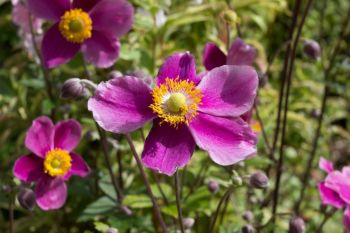 How to grow Japanese anemones