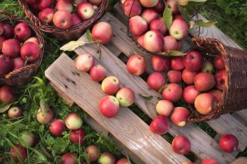 How to harvest and store apples