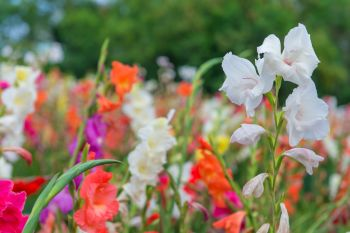 Plant gladioli corms in containers