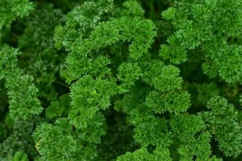Plant of the Week: Parsley