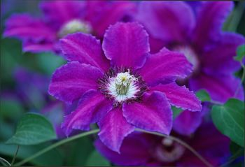 Prune summer flowering clematis now