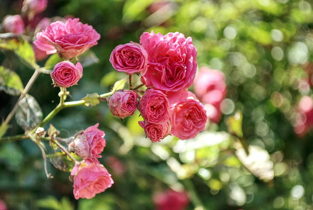 A garden full of roses near Dartford?